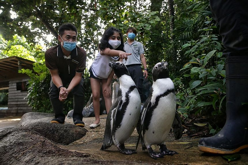 Above: Maahi Kalra, six, with Wildlife Reserves Singapore staff Ravan Tan (left), 35, and Tan Yih Fei, 29, getting up close with African penguins Ben (left) and Bella at the Singapore Zoo yesterday. Her mother, Ms Gunjan Kalra, adopted the penguins u
