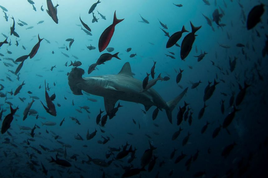 The three steep-sided underwater mountains in the archipelago's north is home to the world's largest shark population.