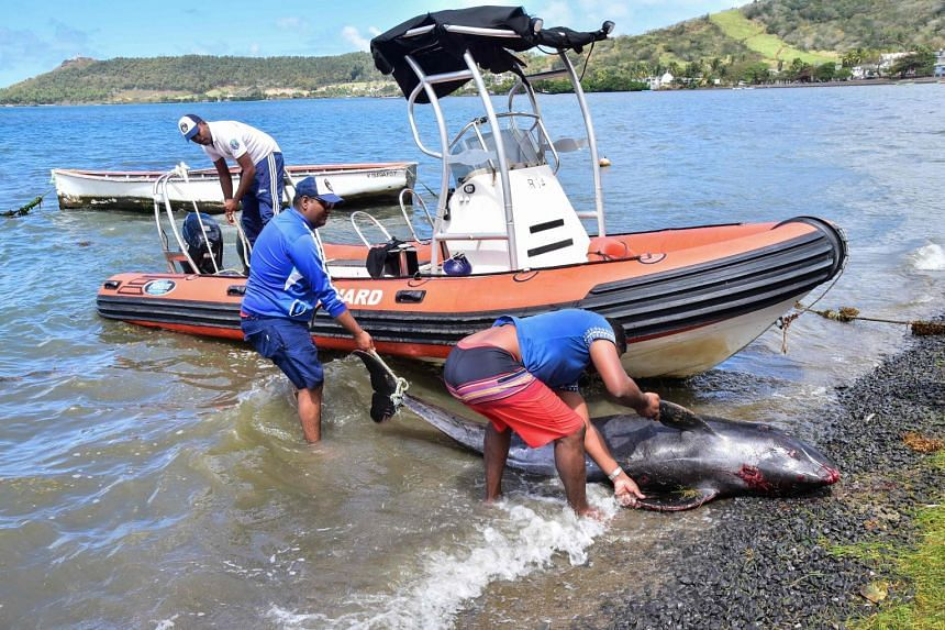 Men recover the carcass of a melon-headed whale at a beach in Grand Sable, Mauritius, on Aug 26, 2020.