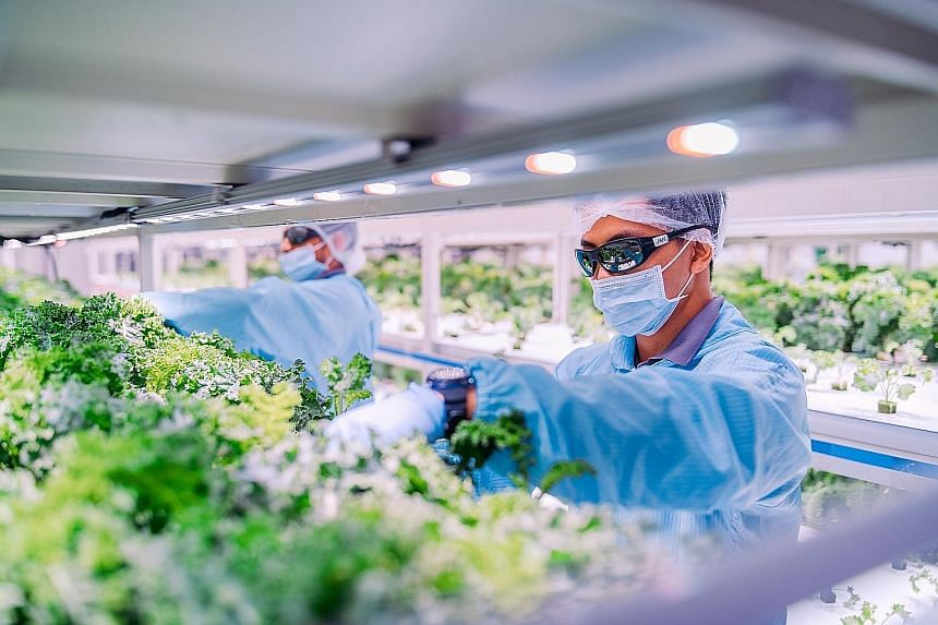 Workers at local farming company Sustenir Agriculture earlier this year. Positions for plant scientists, agronomists and aquaculture specialists as well as rank-and-file workers are expected to open up in the agri-food, food and environmental service