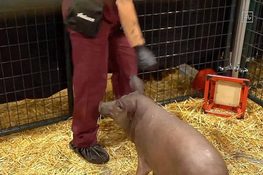 Gertrude the pig, which has a coin-size computer chip in her brain, in a webcast on Friday by neuroscience start-up Neuralink, co-founded by Tesla and SpaceX chief executive Elon Musk. The trial is aimed at curing neurological conditions such as Alzh