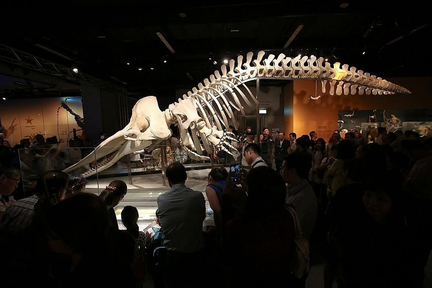 Exhibits at the Lee Kong Chian Natural History Museum include those of a sperm whale skeleton (above) and a trio of dinosaur skeletons. The museum is planning a digital database and management system of its more than one million specimens and artefac