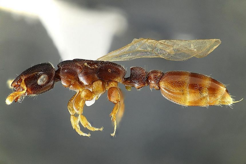 Since the Lee Kong Chian Natural History Museum opened in 2015, its scientists have contributed to the discovery of more than 100 new species from Singapore and beyond, including Metapone murphyi (above), found in a preserved ant's nest by insect sci