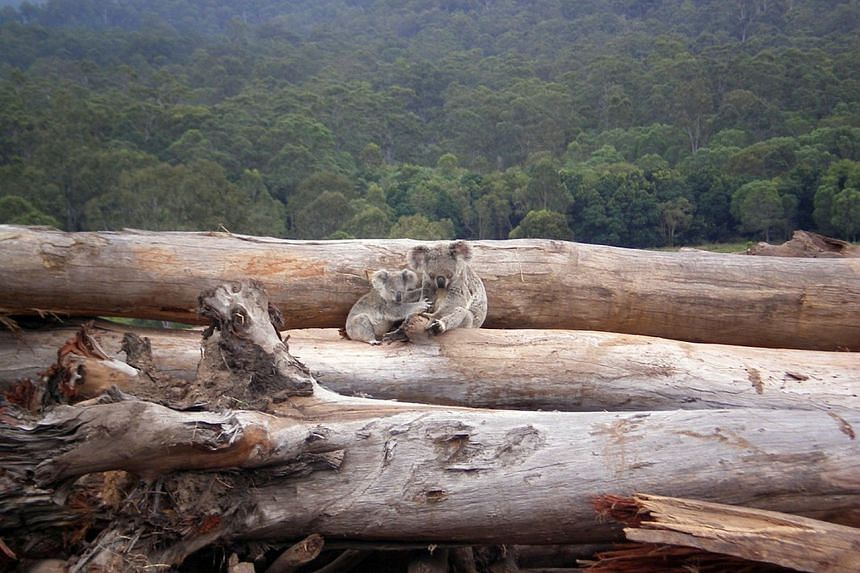 Environmental groups said koalas were on track for extinction in New South Wales by 2050 without urgent intervention.
