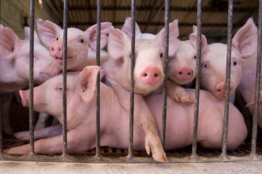 Germany's domestic pork market is not enough for the country's large pig farming sector.