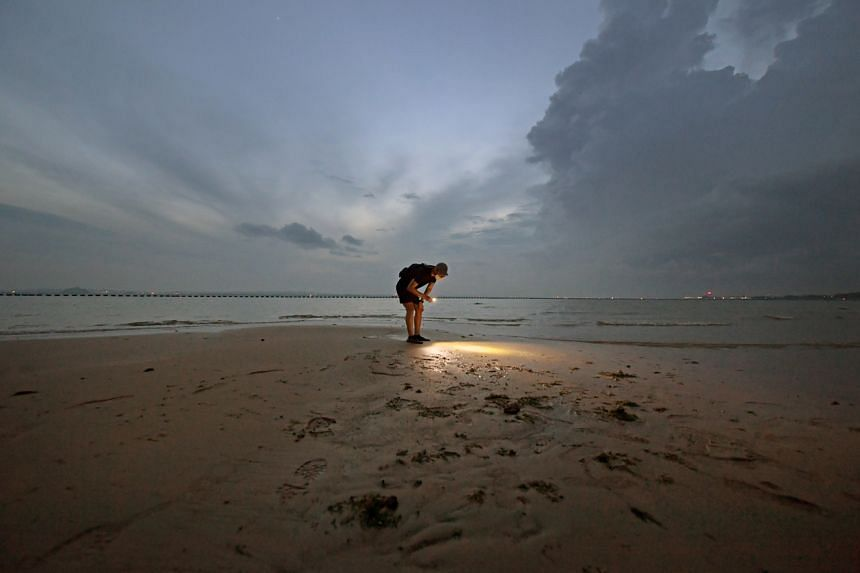 Mr Dennis Chan, founder of The Untamed Paths, searching for marine life in the shallows at Changi on Sept 5, 2020.