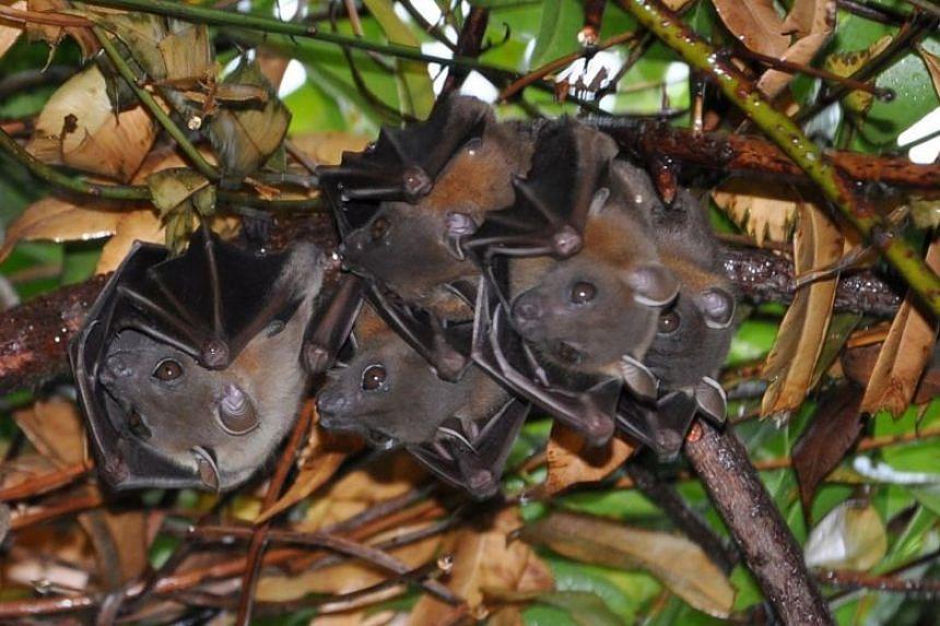 Bats can spread viruses through their faeces.