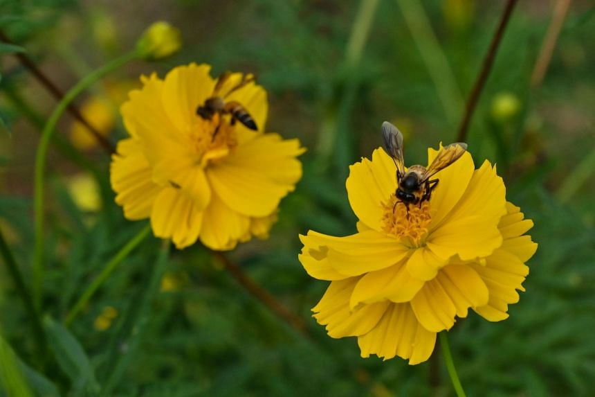 The effects on insects, including bees (above) may be a reduced ability to navigate, and damage to genetic material and larvae.