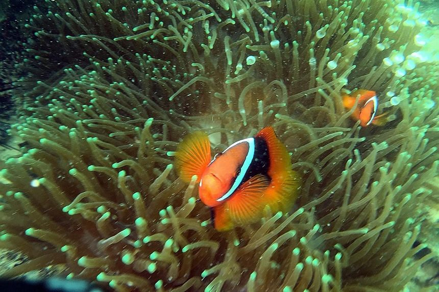 A pair of playful clownfish