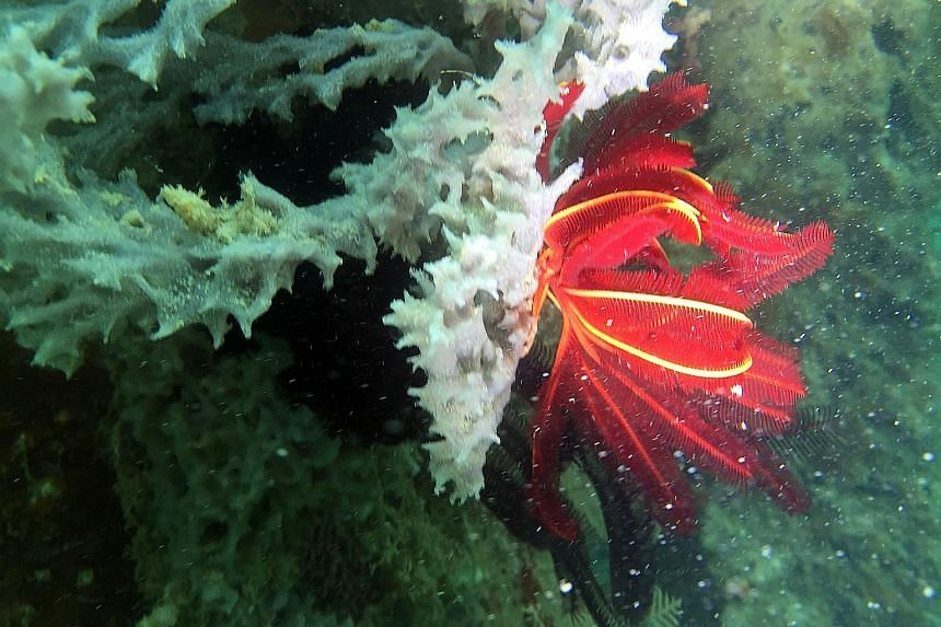 A red feather star perched on hard coral