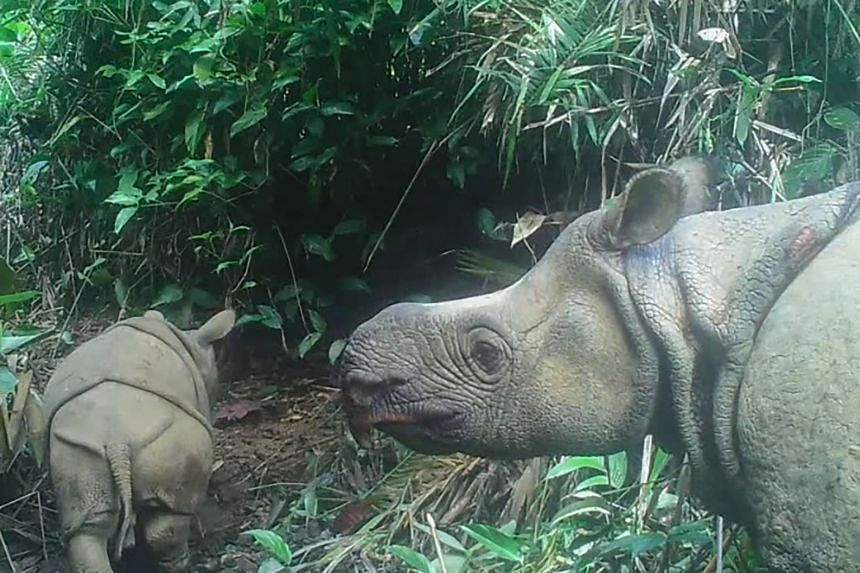 A male Javan rhinoceros calf named Luther (left) in Ujung Kulon national park in Banten, Indonesia, on May 22, 2020.