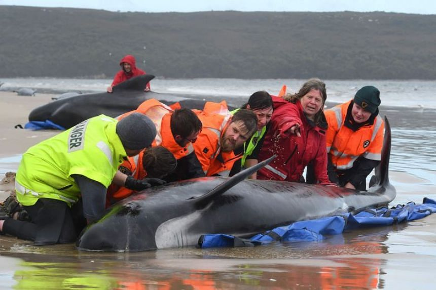 Rescuers working to save a pod of pilot whales stranded on a sandbar at Macquarie Harbour in Tasmania.