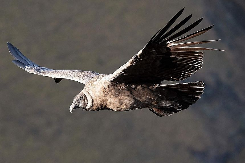 Glimmer Of Hope For Andean Condors As Numbers Rise Americas News Top Stories The Straits Times