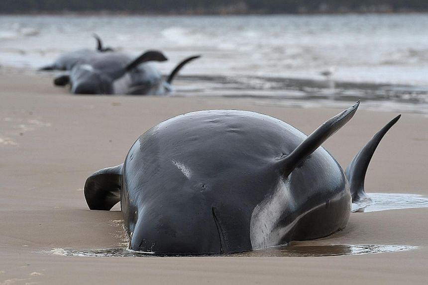 The refloating process involves as many as four or five people per whale, attaching slings to the animals so they can be guided out to sea by a boat. Stranded whales on a beach in Macquarie Harbour on the rugged west coast of Tasmania on Tuesday. The