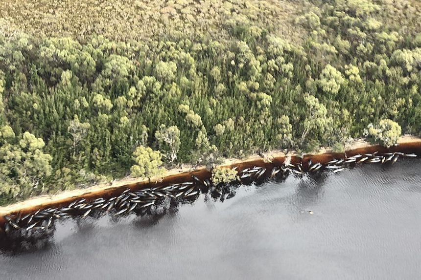 An aerial view shows pilot whales stranded along the coastline near the west coast town of Strahan on the island state of Tasmania, Australia, on Wednesday. Officials had the grim task of disposing almost 400 whale carcasses yesterday, while rescue a