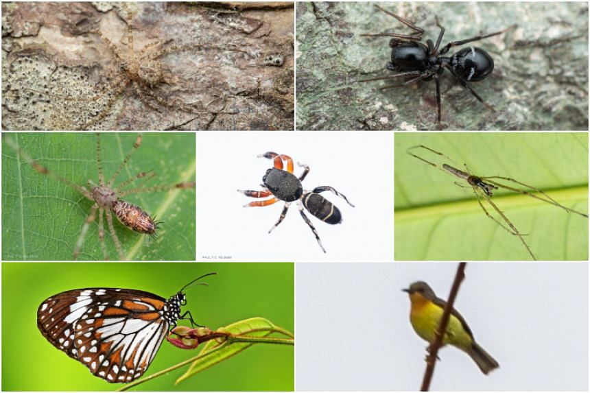 Piranthus sp. (centre), a spider species new to science, and six other animal species recorded in Singapore for the first time.