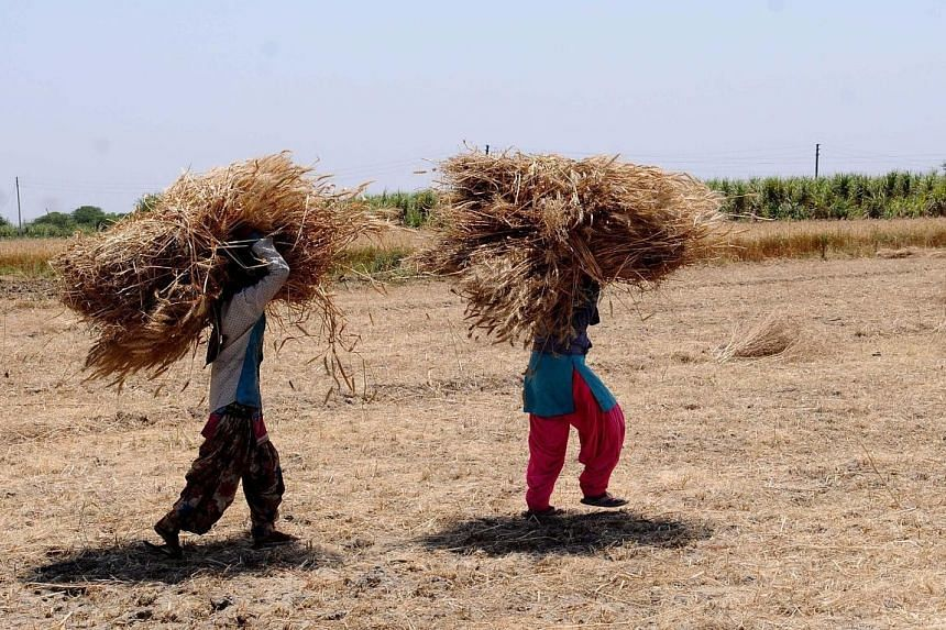 Farmers carrying harvested crops (left) and farming activities being carried out (below) in India's Uttar Pradesh state during the nationwide lockdown to curb the spread of the virus. The closure of mandis, where farmers sell their harvest, could lea