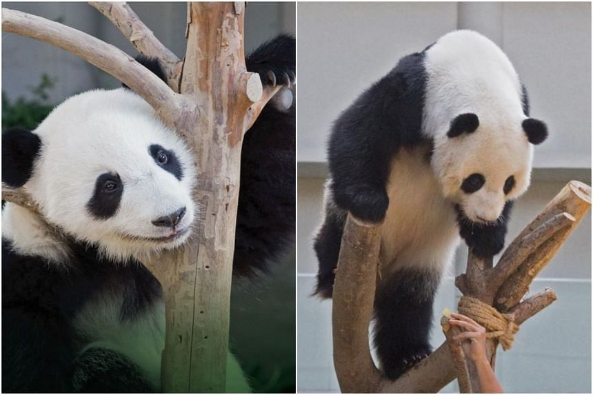 Born in January 2018, Yi Yi, whose name means friendship, currently weighs 88kg.