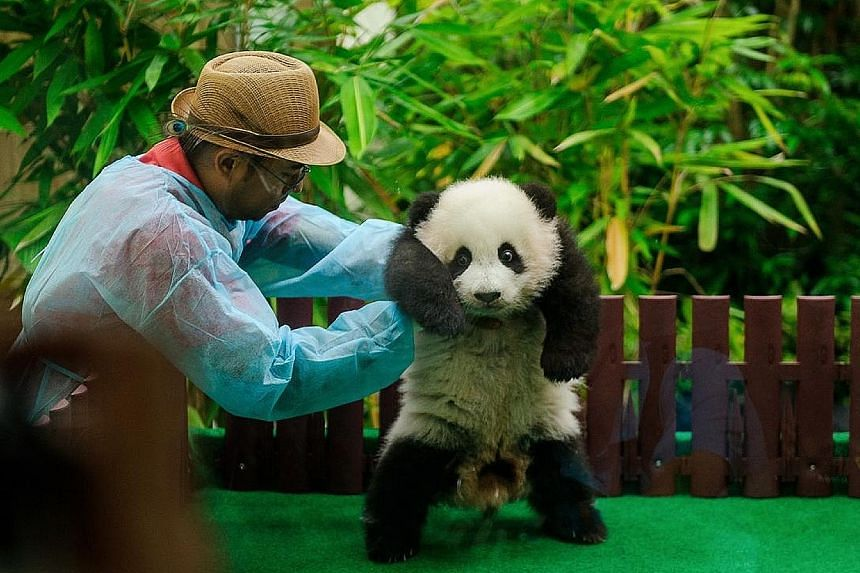 Born in Malaysia in January 2018, Yi Yi, whose name means friendship, currently weighs 88kg. Bamboo and fruit are the favourite treats of the female cub.