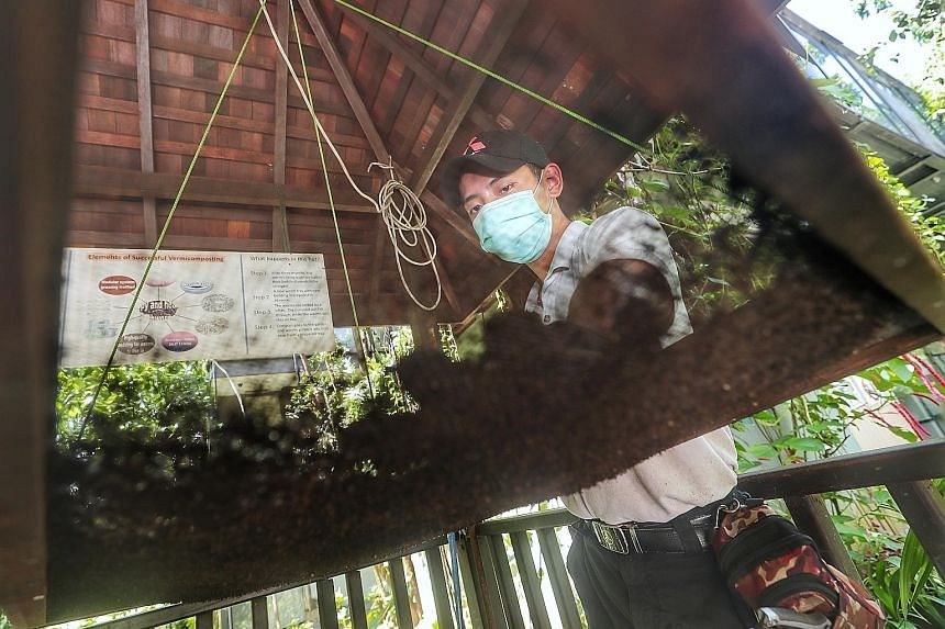 A member of Siloso Beach Resort's landscaping team separating the Malaysian blue worms at the wormery from their old bedding, which involves shaking a suspended sifter. The worms will then be transferred to a tray with new, clean bedding. Each tray h