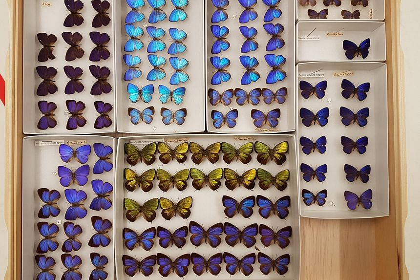 Some of the butterfly specimens from the Lee Kong Chian Natural History Museum that have had their images and information put online in the Global Biodiversity Information Facility, a free international biodiversity database.