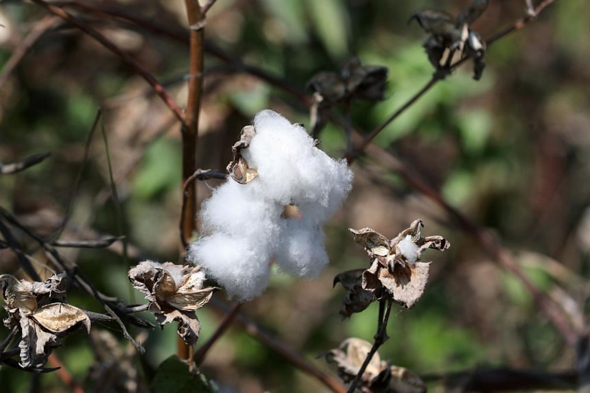 The value and volume of Australia's cotton exports are volatile.