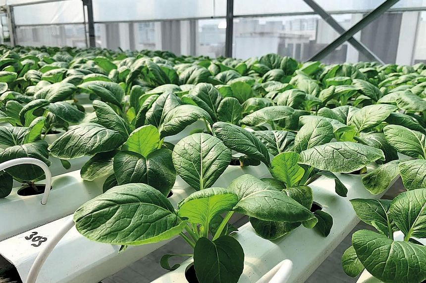 Plants suitable for growing in hydroponics systems include Japanese chye sim.