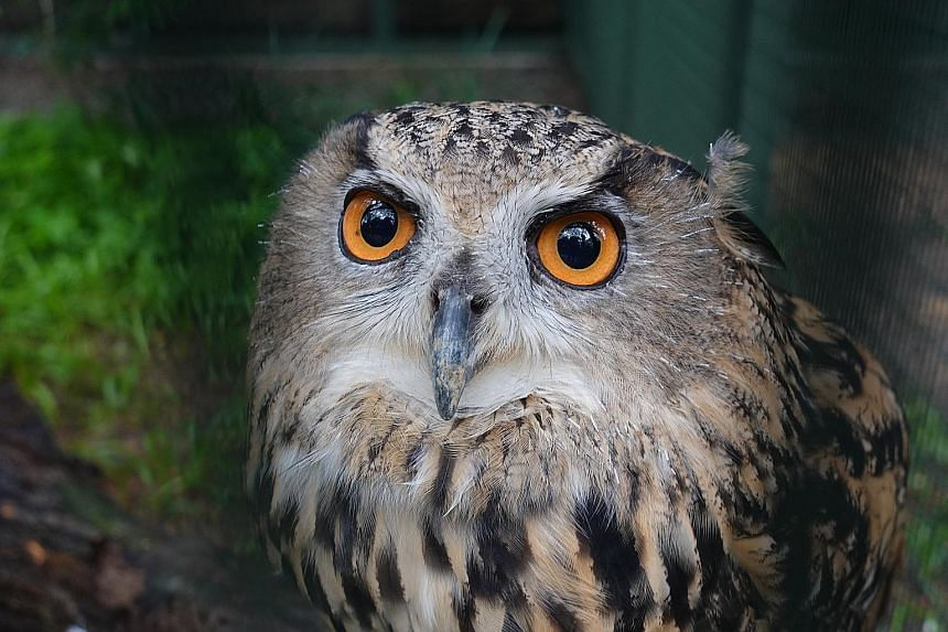 Eurasian eagle owl Max was hatched in 2010. She is undergoing rehabilitation for scoliosis and uses the aviary space to regain her strength to walk, run and fly. Rod Stewart is an Egyptian vulture that might be close to 60 years old. He now wears a w