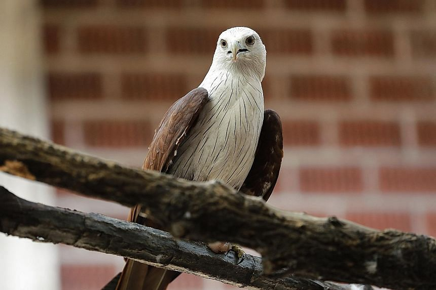 Sydney, a 31-year-old Blyth's hawk eagle, is functionally blind from severe cataracts. Despite this, he is comfortable roaming the lower perches of the aviary.