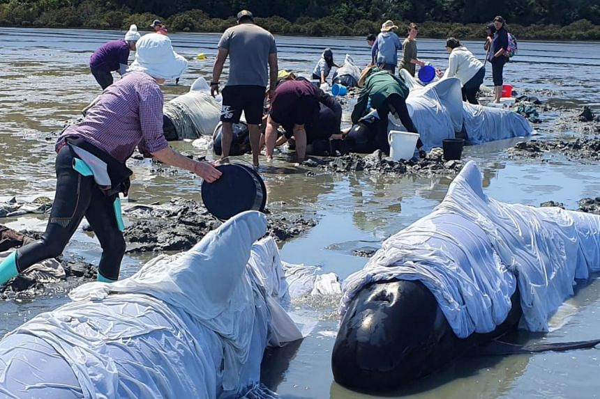 People tend to stranded whales in the Coromandel, New Zealand, on Oct 17, 2020.