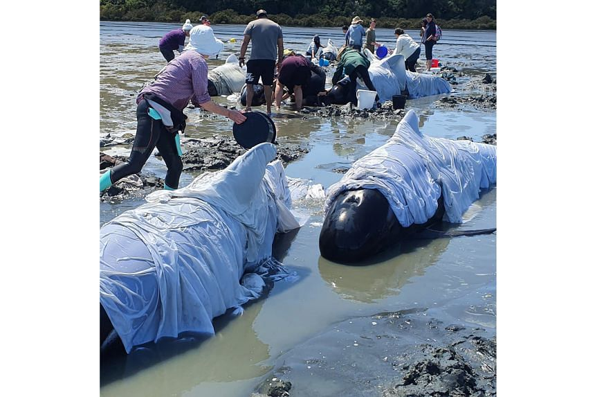 Rescuers and volunteers in New Zealand worked all of last Saturday to refloat about 25 pilot whales, part of a pod of about 40 to 50 which got stranded. PHOTO: REUTERS