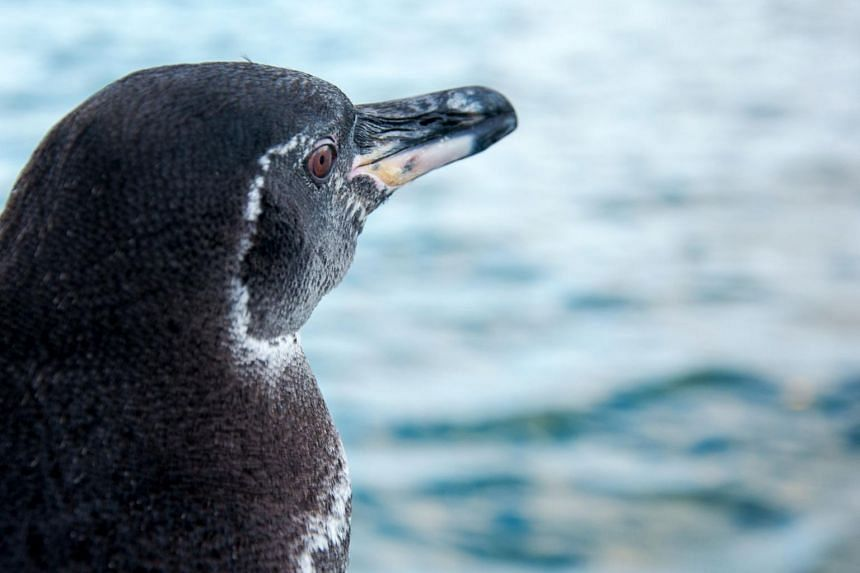 The population of Galapagos penguins increased from 1,451 in 2019 to 1,940 in 2020.