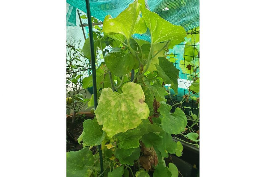 Cantaloupe plant has mildew disease; other plants may be a Ludwigia and Spider Flower (Photo 1)