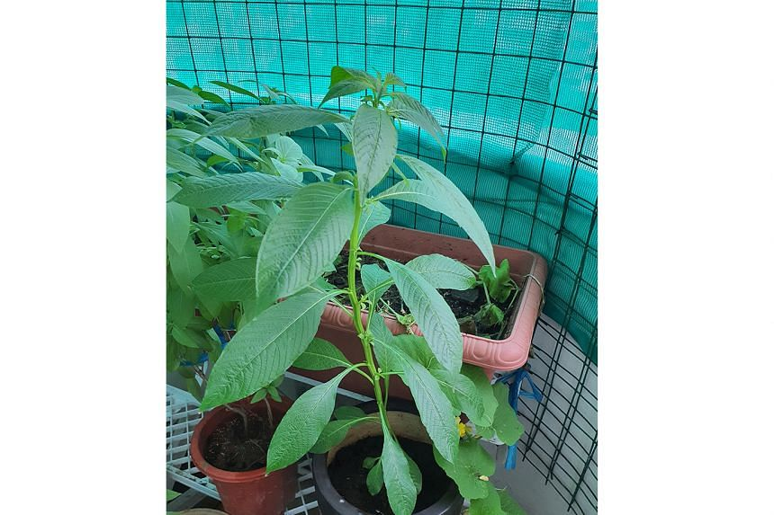 Cantaloupe plant has mildew disease; other plants may be a Ludwigia and Spider Flower (Photo 2)
