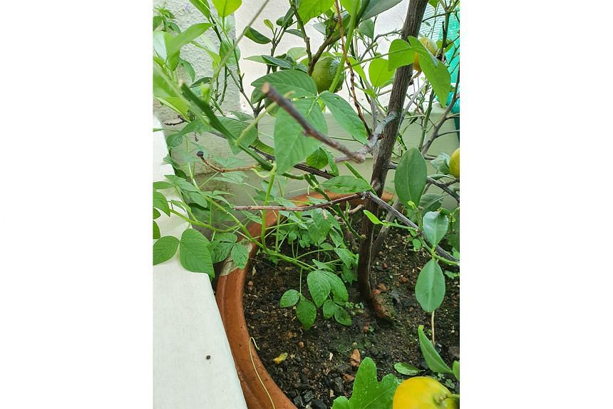 Cantaloupe plant has mildew disease; other plants may be a Ludwigia and Spider Flower (Photo 3)