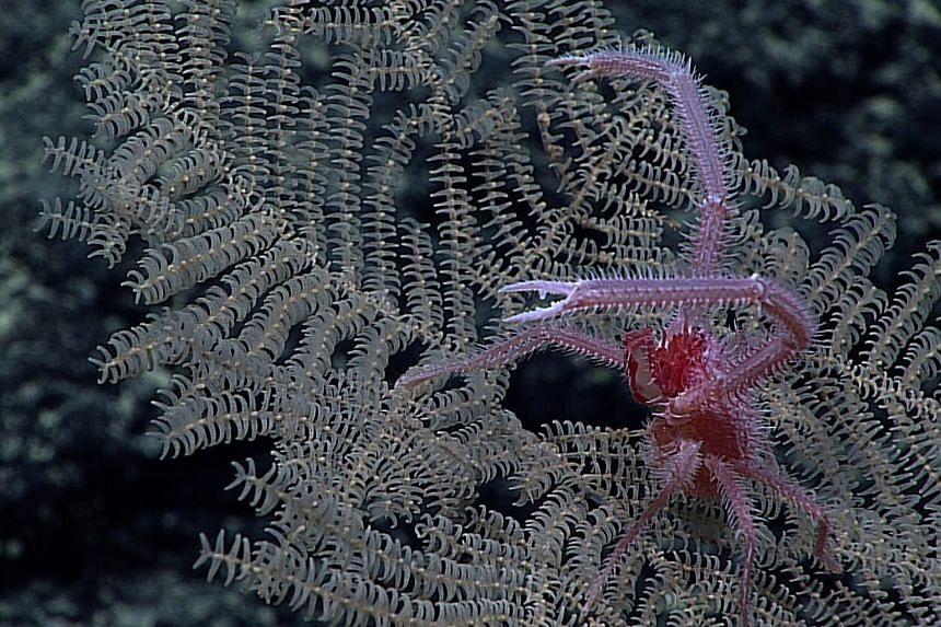The black corals were discovered on deep seamounts and ridges in the mineral-rich Prime Crust Zone.