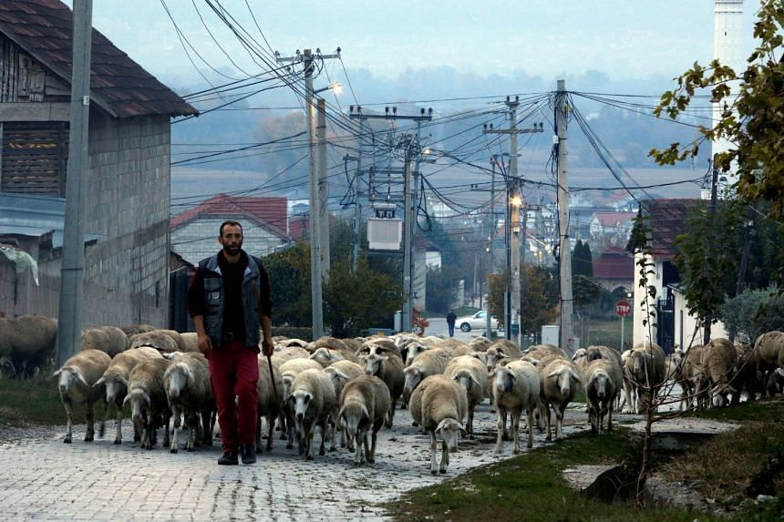A man herds his sheep in the village of Cellopek, North Macedonia on Nov 3, 2020.
