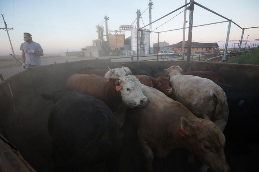 Cattle that are being shipped from a feedlot in Hereford, Texas, to a slaughterhouse, on Sept. 4, 2020.