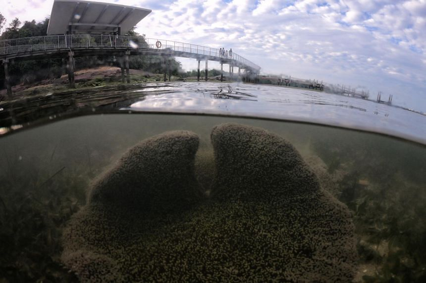 A carpet anemone is seen at the intertidal area of Chek Jawa during low tide.