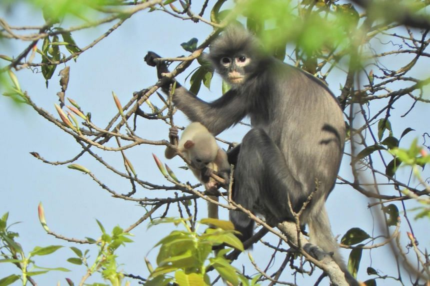 The Popa langur has a grey-brownish and white belly, with black hands and wrists that look a bit like gloves.