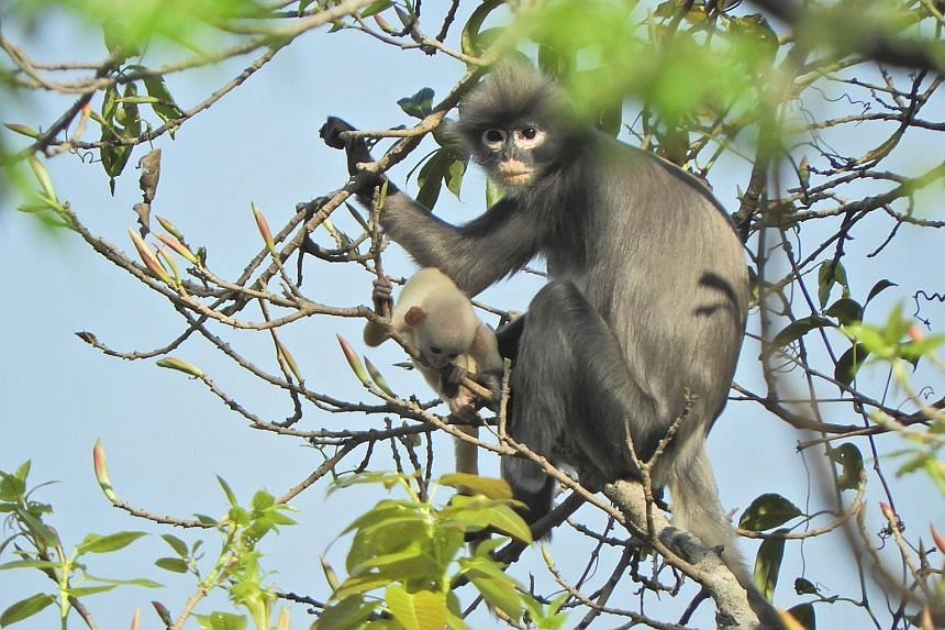 A photo released by the German Primate Centre yesterday shows the Popa langur found in Myanmar. Research shows the species has been around for at least a million years, but only 200 to 250 are left in the wild.