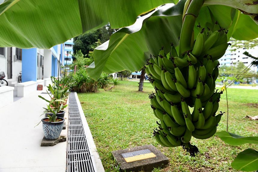 A banana plant's pseudostem flowers and fruits once and dies after the fruit is harvested.