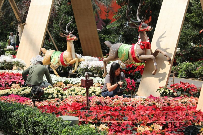 Gardens by the Bay staff putting the finishing touches to the 2019 iteration of Poinsettia Wishes at the Flower Dome.