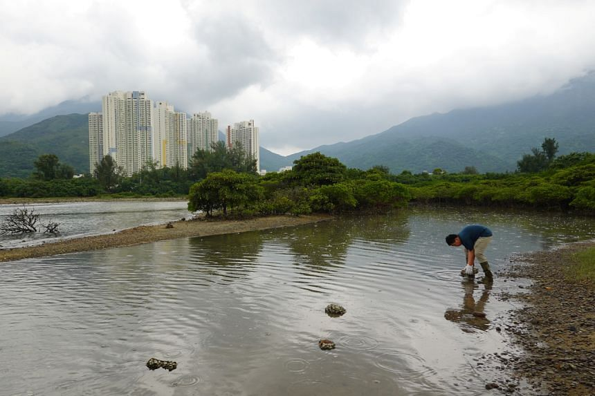 Environment activists say the buffaloes are crucial to Lantau's ecosystem, eating harmful weeds and keeping the wetlands fertile.