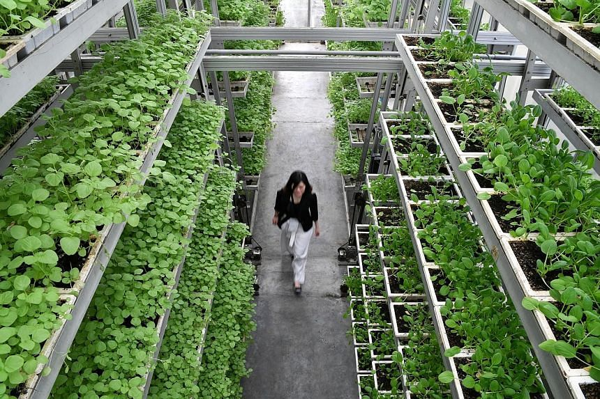 A vertical farm facility at Sky Greens, an urban farm in Lim Chu Kang. The Singapore Food Agency and Enterprise Singapore have launched a guide to help aspiring farmers navigate the guidelines, procedures and regulatory approvals needed to start a la