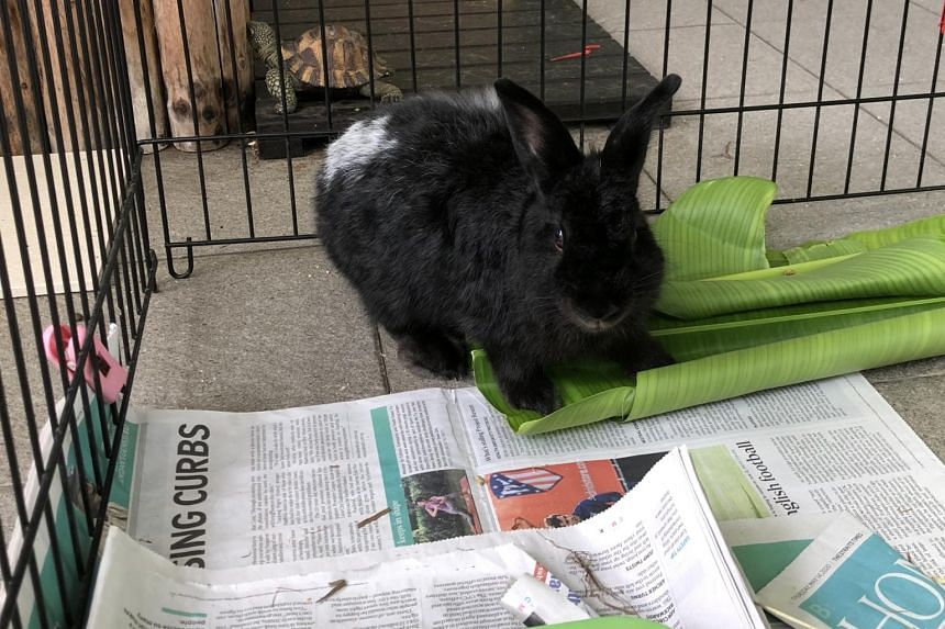 Oreo, a three-year-old bunny, eats its own poop.