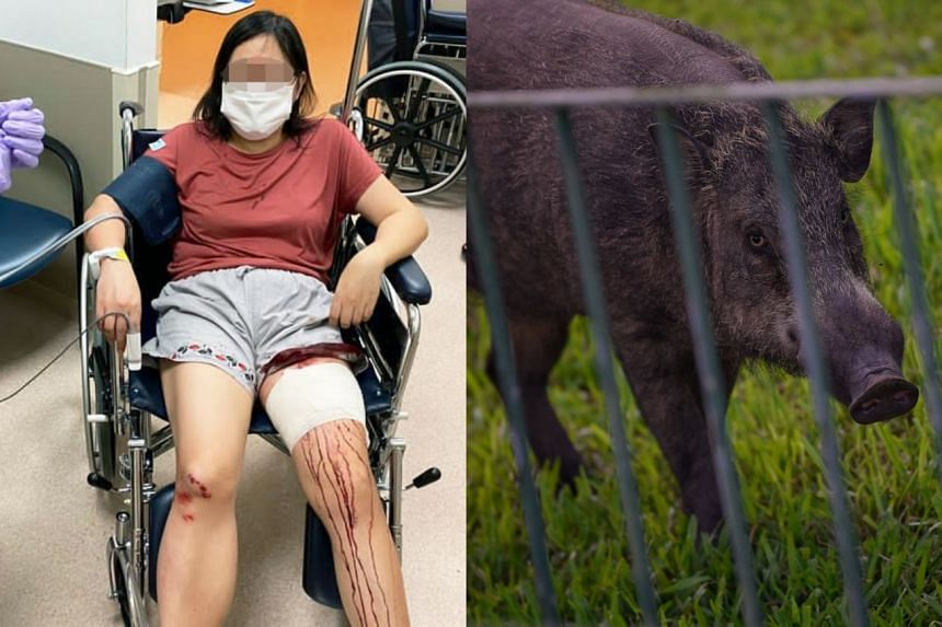 The 50-year-old auditor suffered a 10cm laceration cut on her left leg and facial injuries from the boar attack.