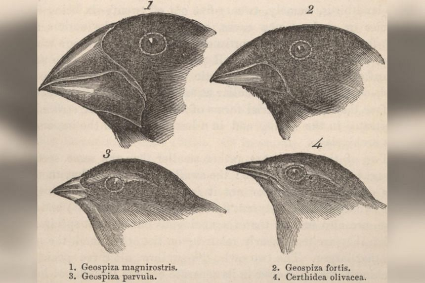 A diagram of the four beaks have been commonly used in textbooks to show the finches' evolution into various types of species.