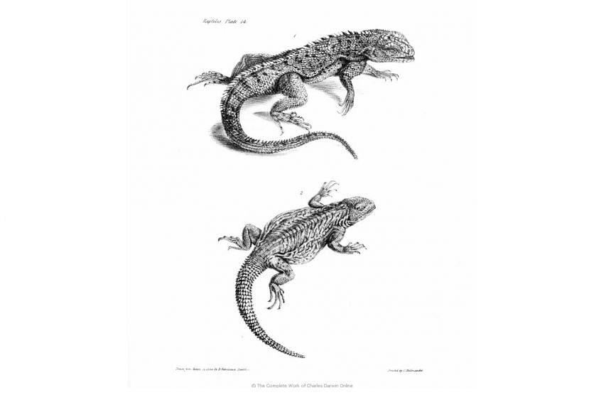 A type of reptile spotted by Darwin during his voyage on the HMS Beagle ship.
