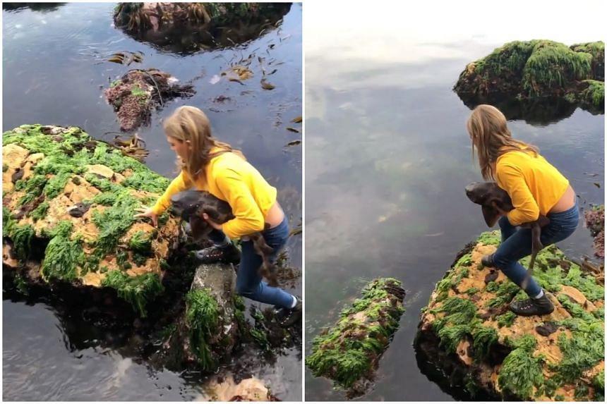 Billie Rea carrying a draughtboard shark across rocks before releasing it in deeper water, on Nov 18, 2020.